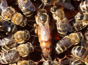 comment trouver la reine dans une ruche
