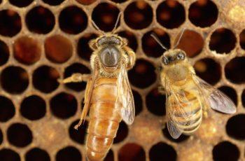 reine abeilles ruche