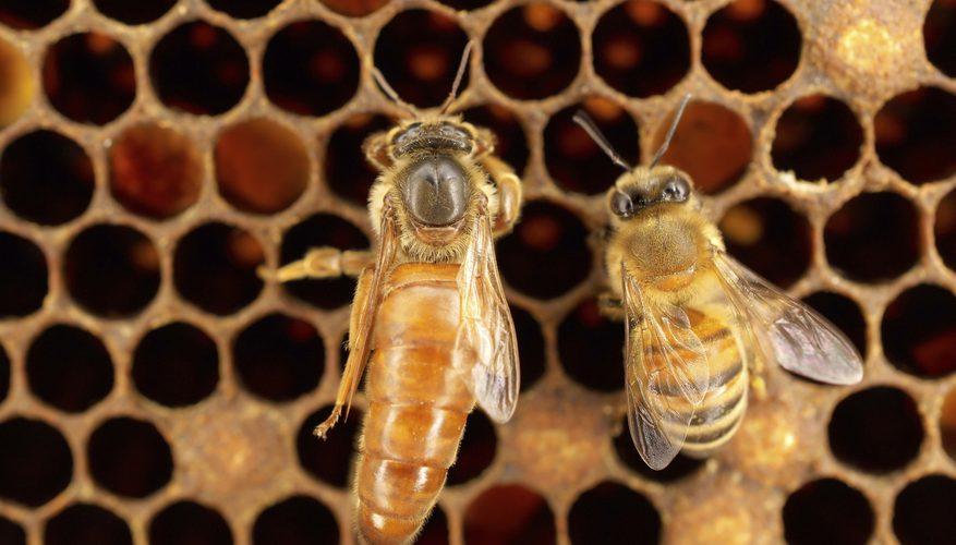 Comment trouver la reine dans une ruche ?