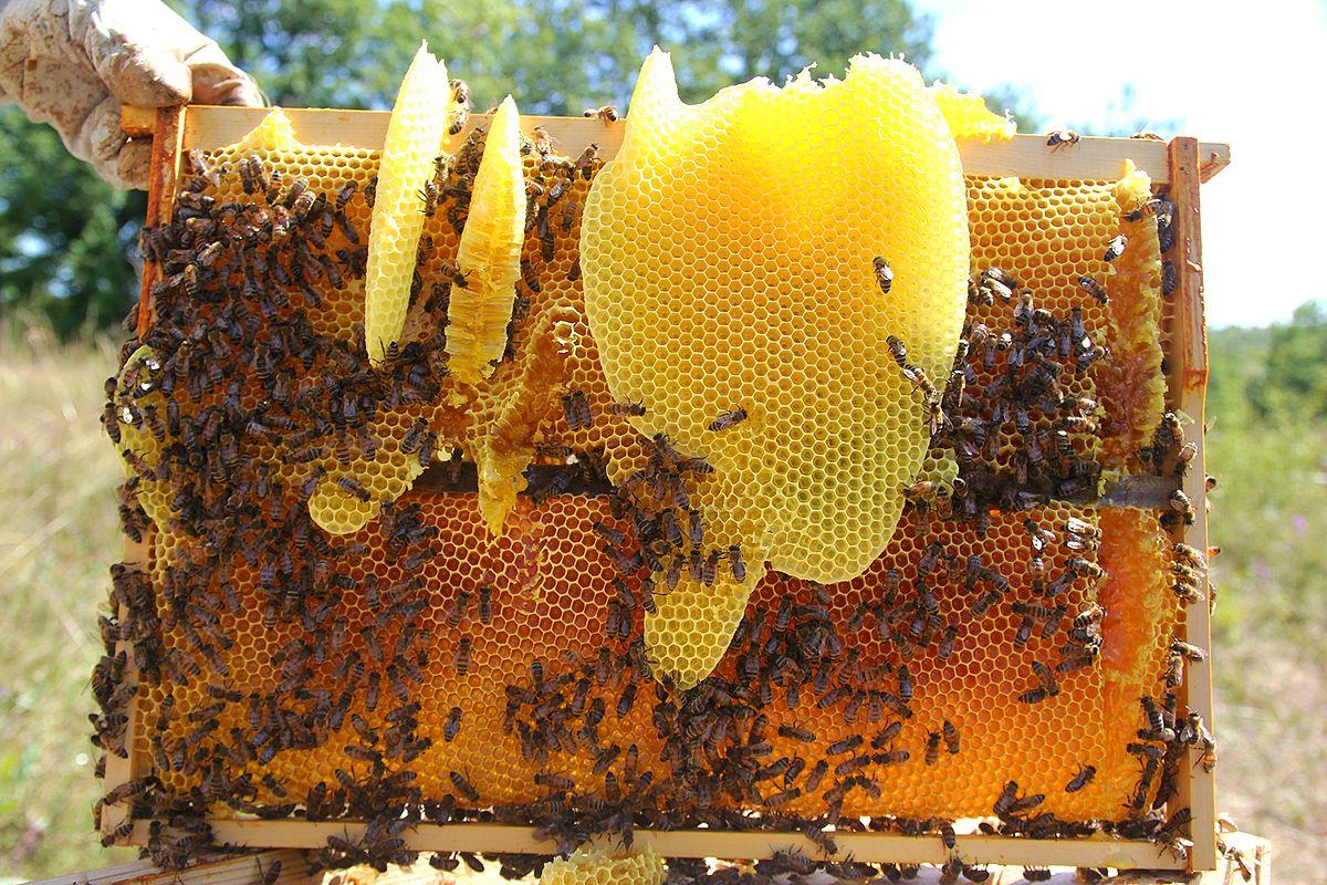 Comment les abeilles fabriquent-elles de la cire ?
